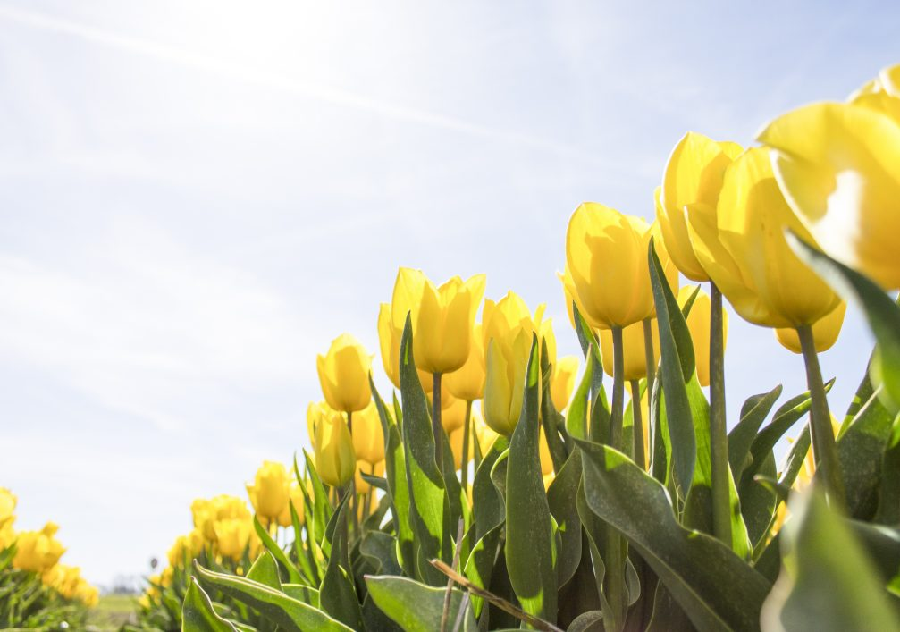 tulips-netherlands-flowers-bloom-159406